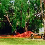 Culturally Significant Willow Tree Bega Nsw Abc News Australian