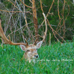 Fallow Deer And The Green Grass Home Keeping Eye