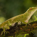 Green Tree Anole Flickr Sharing