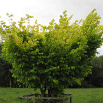 Unknown Yellow Green Tree Flickr Sharing